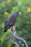 Cuban Black Hawks
