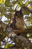 Madagascar Long-eared Owl