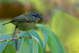 Island leaf-Warbler