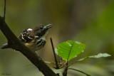 Dot-backed Antbird