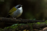 Grey-browed Brush-finch