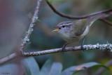 Timor Leaf-warbler
