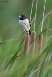 Five-coloured Munia