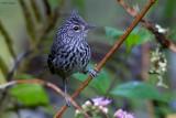 Dusky-tailed Antbird