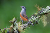 Grey-throated Warbling-finch