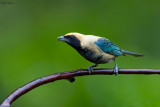 Stripe-bellied Tanager