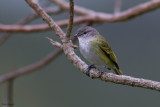 Grey-capped Tyrannulet