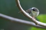 Thick-billed White-eye