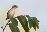 Golden-rumped Flowerpecker