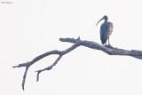 Giant Ibis
