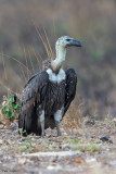 Indian White-backed Vulture