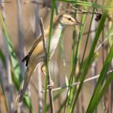 Manchurian Reed-warbler