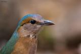 Blue-rumped Pitta