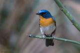 Indochinese Blue-flycatcher