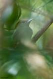 Pale-headed Woodpecker