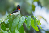 Red-chested Flowerpecker