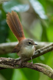 Long-tailed Fantail