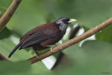 Black-crowned Capuchin Babbler