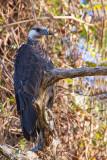 Madagascar Fish-eagle