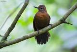 Rufous-breasted Leaftosser