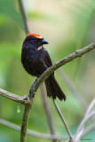 Flame-crested Tanager