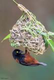 Chestnut-and-black Weaver
