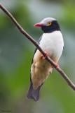 Red-billed Helmet-shrike