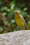 Raimondi's Yellow-finch