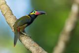 Guianan Toucanet