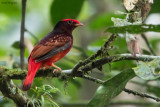 Guianan Red Cotinga