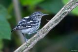 Guianan Streaked Antwren