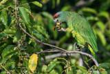 Northern Festive Parrot