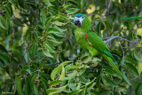 Northern Red-shouldered Macaw