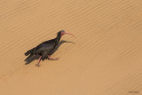 Bald Ibis