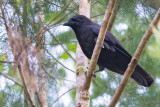 Violet Crow
