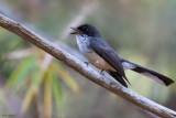 Timor Fantail