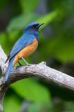Timor Blue-flycatcher