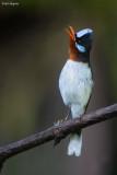 Chestnut-throated Flycatcher