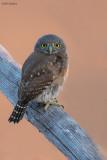 Baja Pygmy-owl