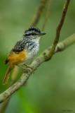 Guianan Antwarbler