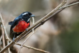 Rose-breasted Chat