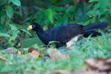 Black Curassow