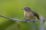 Pale-tipped Tyrannulet