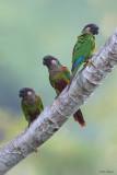 Painted Parakeet
