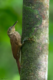 Buff-throated Woodcreeper