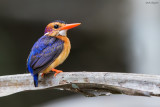 African Pygmy-kingfisher
