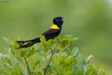 Yellow-mantled Widowbird
