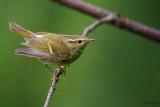 Chinese Leaf-warbler