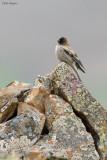 Brandt's Mountain-finch