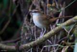 New Caledonian Thicketbird